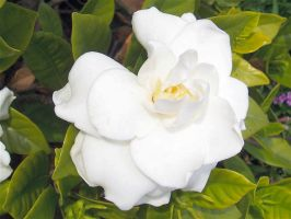 Gardenia by MikeHungerford