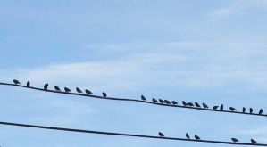 Birds on a Wire by SittingOnTheFence