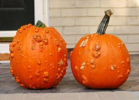 warty pumpkins by objekt-stock