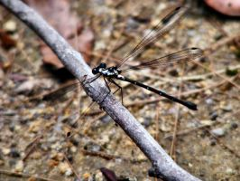 Black and White Damselfly by Dontheunsane