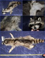 Case Skinned Raccoon #005(SOLD) by ToothNClawTaxidermy