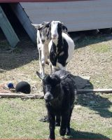 Goats by Skittles52Stock