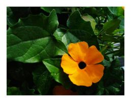 Black-Eyed Susan Vine by theonlysong