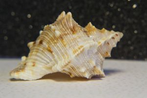 Shell Study 1 by OneLittlePixel