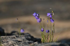 harebell by somebody3121
