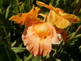 More Orange Canna by bluebelle-88