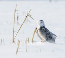snowy owl by RichardRobert