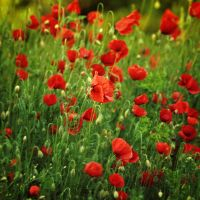Among Poppies by cimengizem