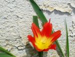 fire tulip by Temaire