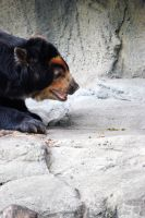 Houston Zoo - Andean Bear by BPHaines
