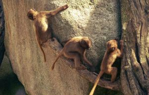 Monkeys climbing on a rock by go4music