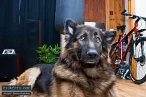 My late dog Elvis in an old apartment of mine by OrisTheDog