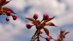 Kwanzaa Cherry Buds by briant1234