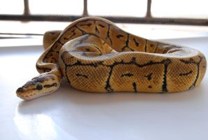 Lemon Blast Ball Python 9 by FearBeforeValor