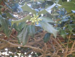 Holly Leaves and buds STOCK by BevyArt