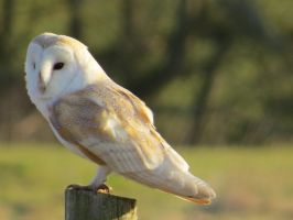 barn owl stock 3 by shirls-art