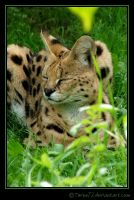 leptailurus serval by Twins72