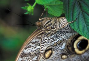 Owl Butterfly by thankyoujames