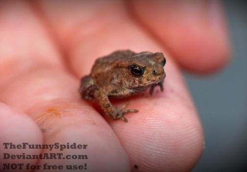 European Toad - Baby on my hand by TheFunnySpider