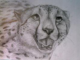 Pencil study - Cheetah by Finchwing