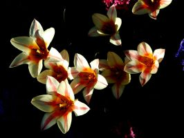Tricolored tulips by Finnyanne