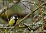 Great Tit by parallel-pam