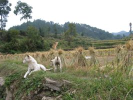 Dogs on edge of the field 02 by zffffff