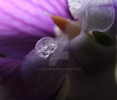 Flower water droplet macro by Seralunai