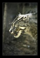 Fishing Cat by WhitePaws1