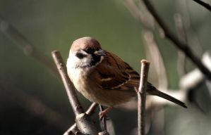 Tree Sparrow by Serjia