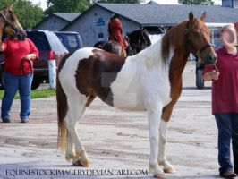 Chincoteague Pony 1 by EquineStockImagery