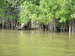 Florida Mangroves by Irie-Stock