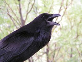 Crow by StewartSteve