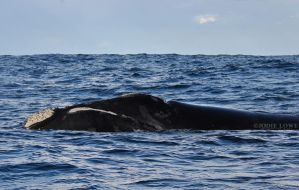 Southern Right whale by Oracle88