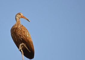 Limpkin by scientificartist