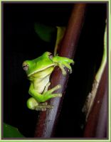 June 2005 Frogs: Canna's Visit by macrophoto