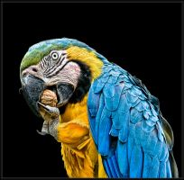 Blue and Gold Macaw on Black by Pistolpete2007