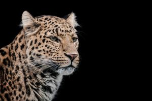 Leopard, KA I by FGW-Photography