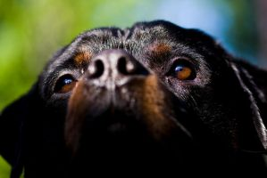 Eyes of the rottie by Timosetae