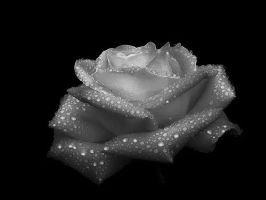 Dew Spangled Rose BW by andras120