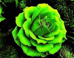 Rare Green Rose by YOKOKY
