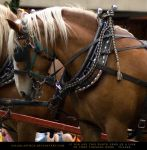 Belgian Hitch 2 by SalsolaStock