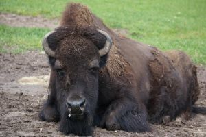 G-ZOO BISON by CHRISwillar