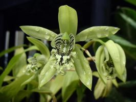 The Greenest Orchid by secondclaw