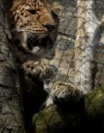 Amur Leopard by Mezza123