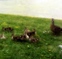 Family Of Duckies by Rainbow826