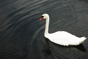 swan by habili-and1