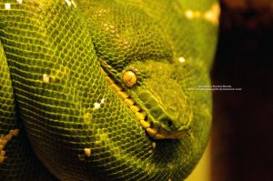 Emerald Tree Boa by 8TwilightAngel8