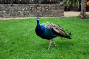DSC 0021 Hungry Peacock by wintersmagicstock