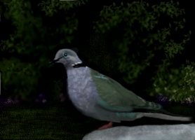 Ring-necked Dove by MacAodhagain